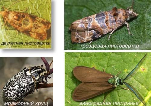 Жук июльский хрущ (мраморный, пестрый) – фото и описание