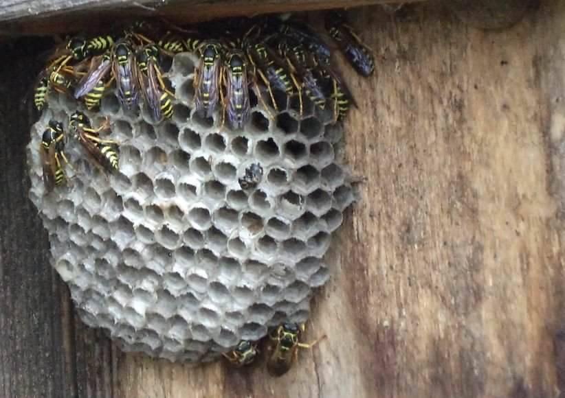 О шершнях: как от них избавиться в доме, как вывести шершней из стены дома