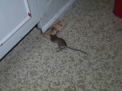 Как избавиться от крыс в погребе старым народным методом