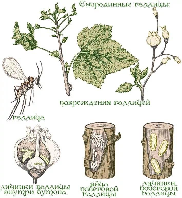 У малины вянут молодые побеги – признак поражения стеблевой галлицей