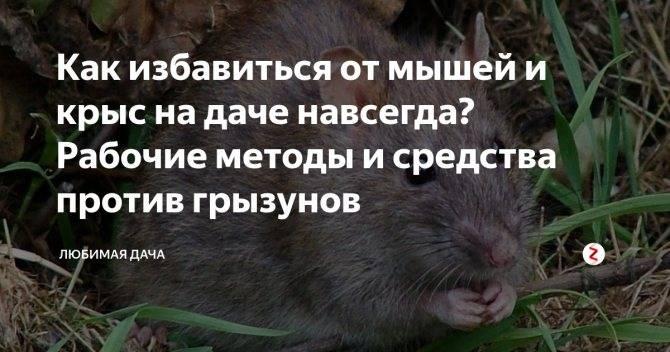 Как бороться с мышами на огороде и доме народными средствами