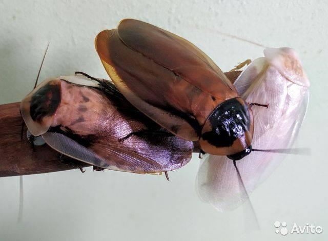 Американский таракан - фото и описание