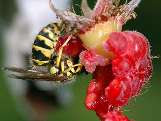Что делать, если осы едят клубнику и малину, как избавиться от ос и спасти ягоды