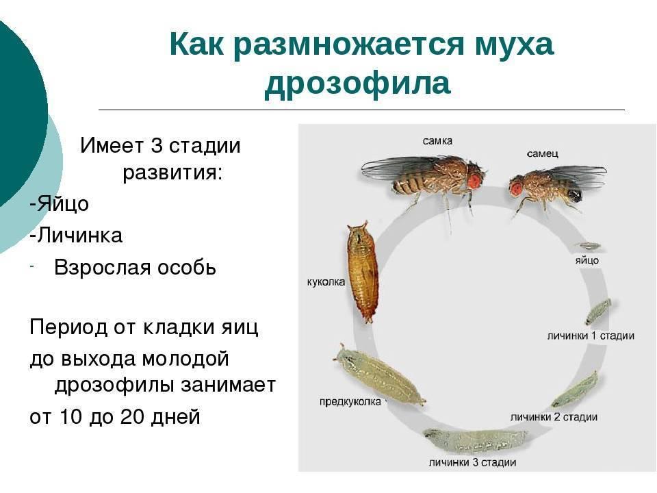 Как размножаются мухи – просто о сложном