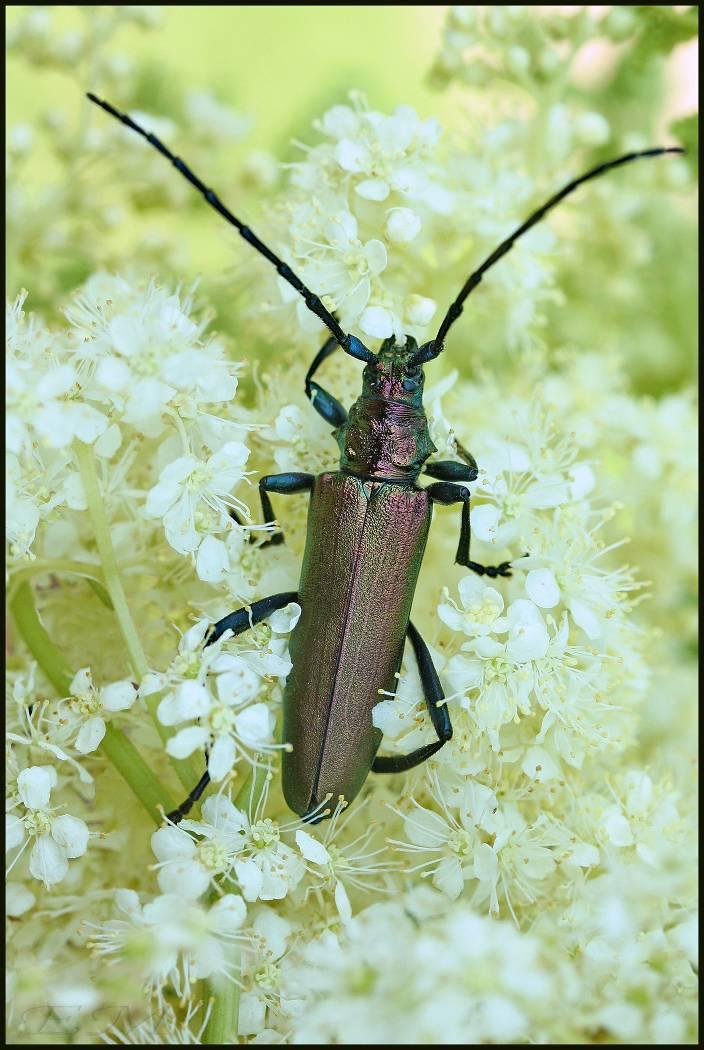 Жук: усач — фото насекомого, его опасность и способы уничтожения