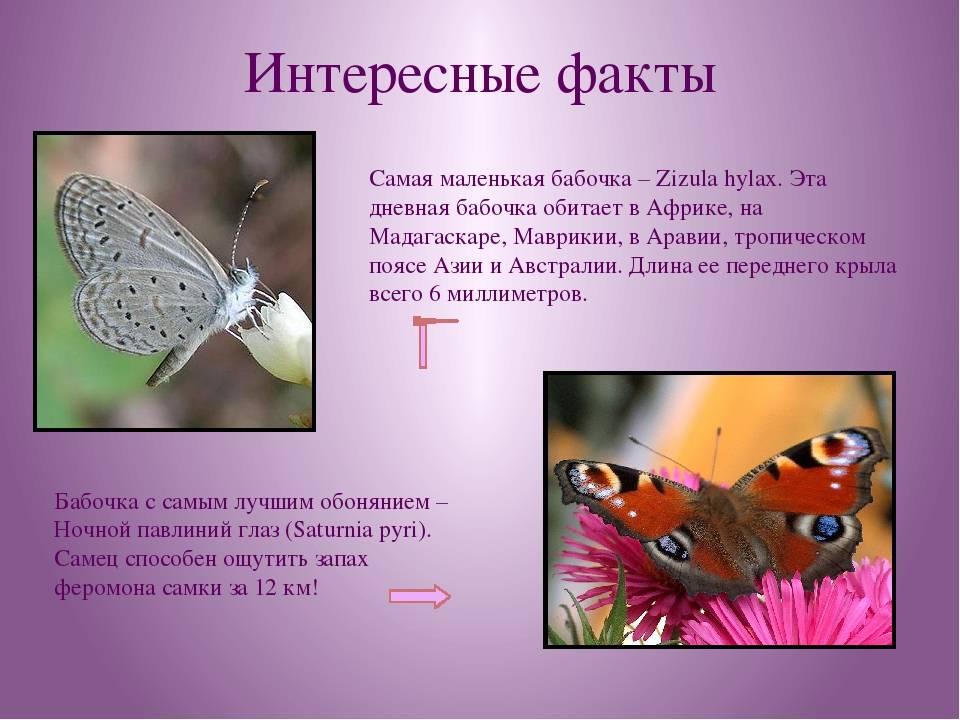 Разведение бабочек в домашних условиях: что нужно знать, особенности разведения, советы начинающим