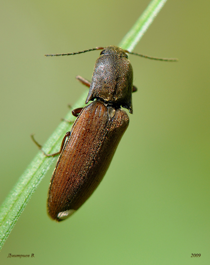 Картофельные вредители: жуки-щелкуны и проволочники