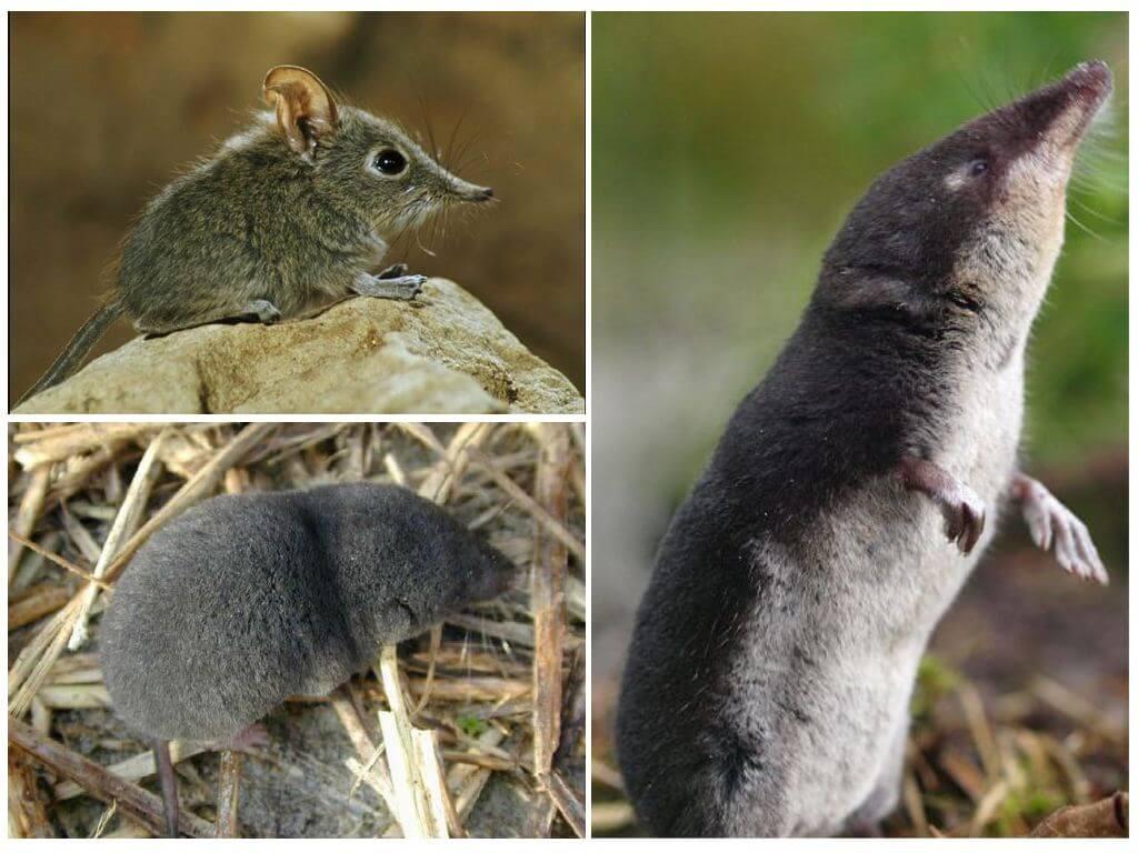 Бурозубка животное. образ жизни и среда обитания бурозубки