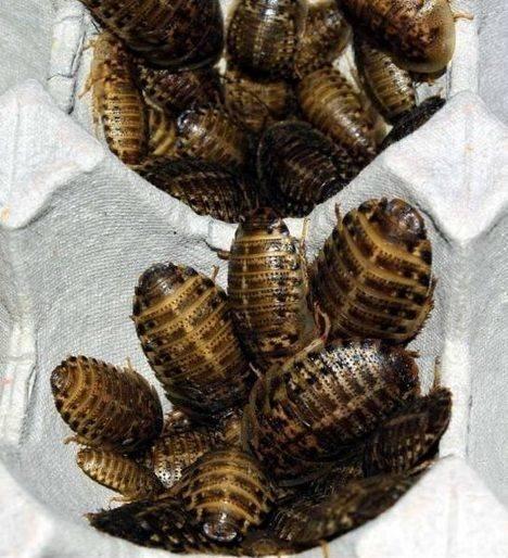 Содержание мадагаскарских тараканов в домашних условиях