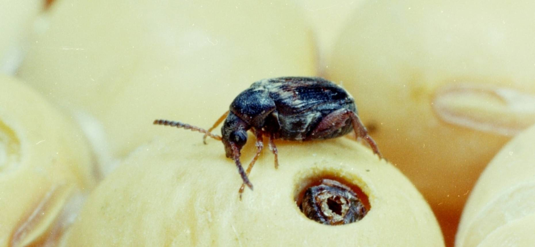 Основные болезни зернобобовых и биологические особенности их возбудителей — agroxxi