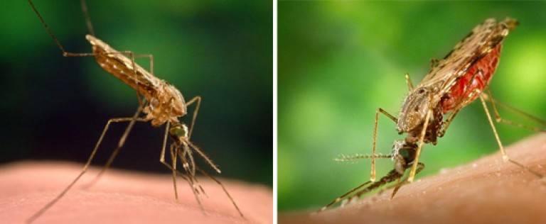 Укусил малярийный комар: что будет и что делать