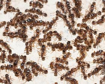 Сон-муравьи в доме
