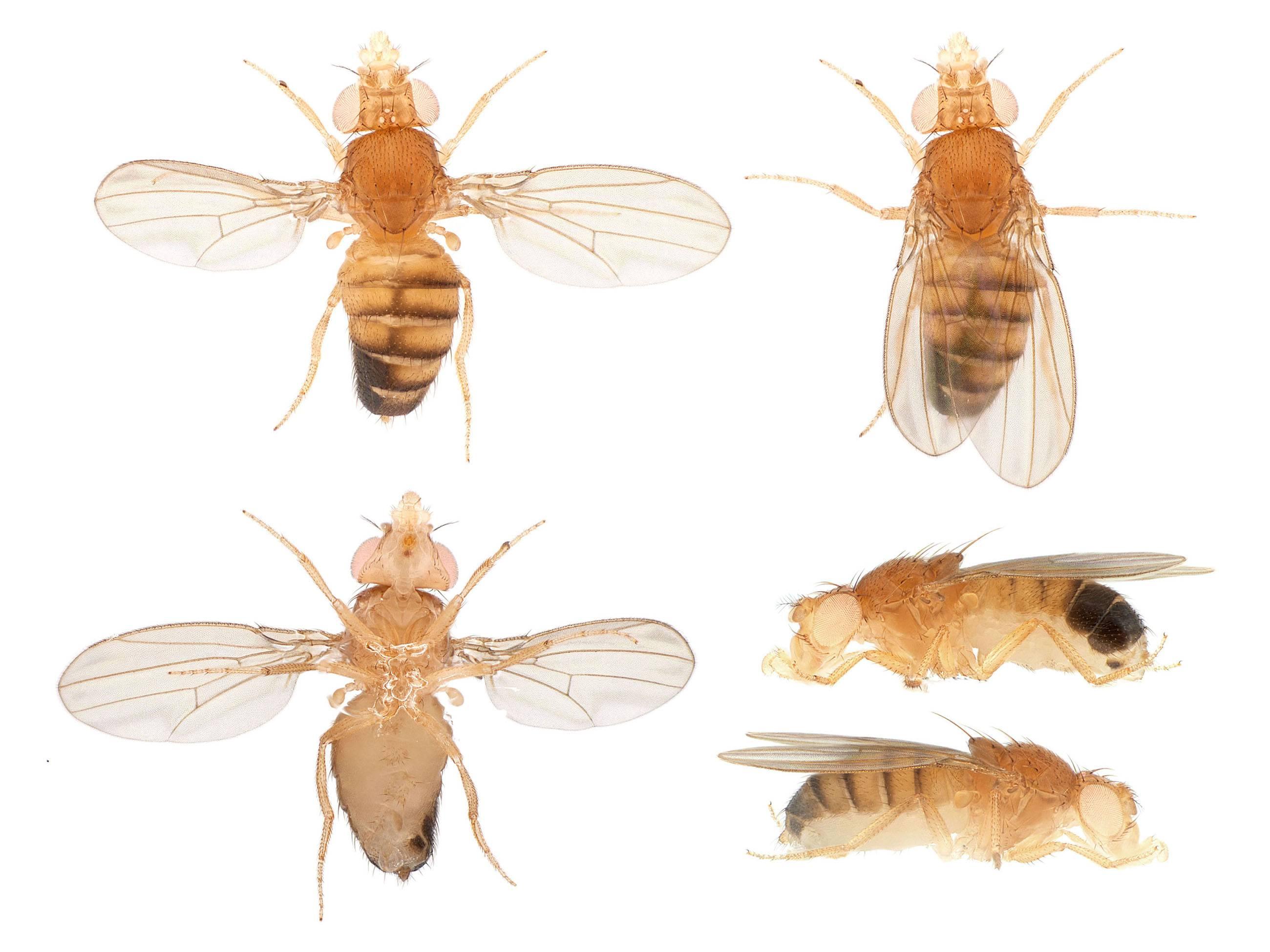 Как избавиться от дрозофил: откуда берутся мушки и как от них избавиться (видео + 105 фото)