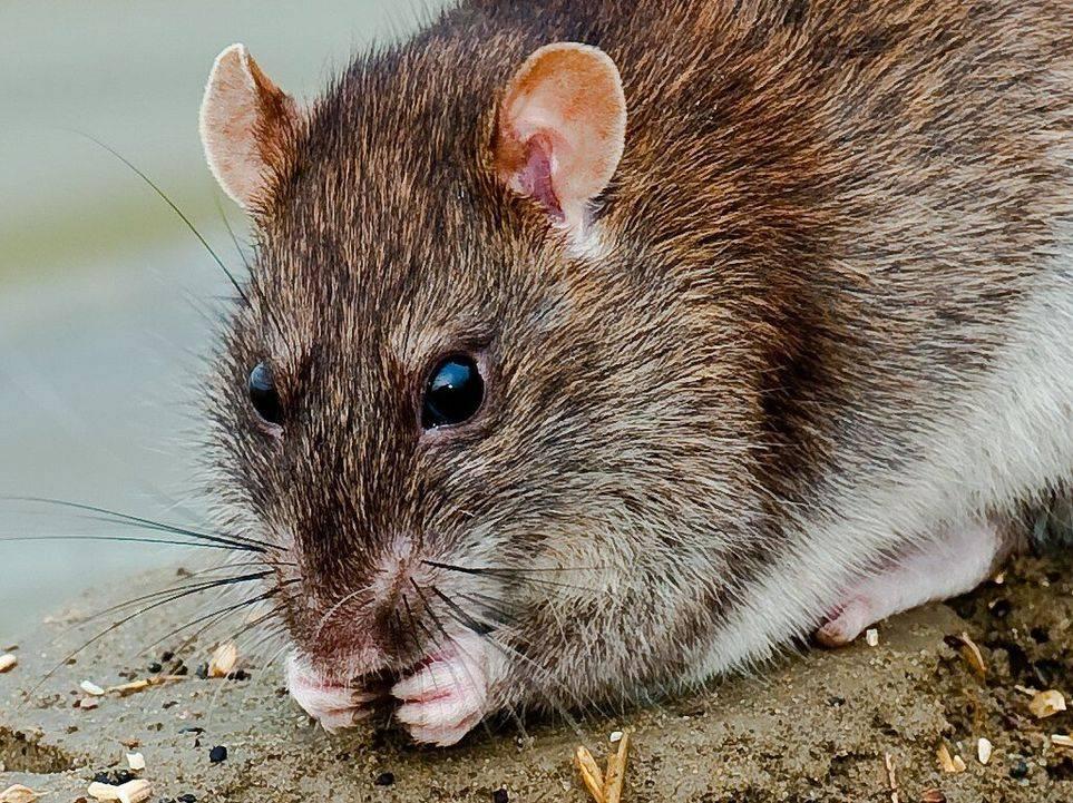 Чума-вечеринка: чем опасны крысы? - magadanmedia