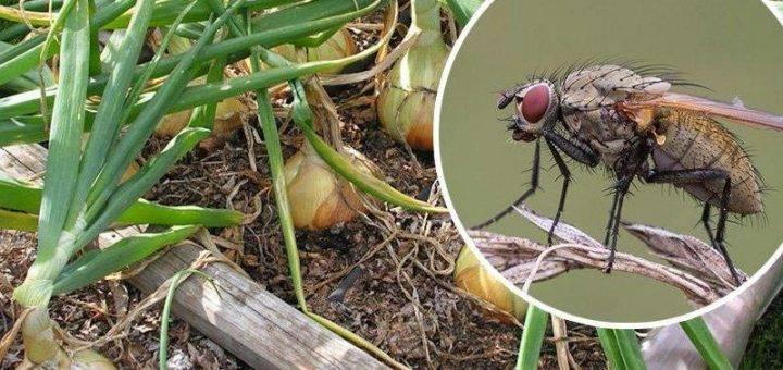Луковая муха: как бороться с вредителем, видео, фото и отзывы