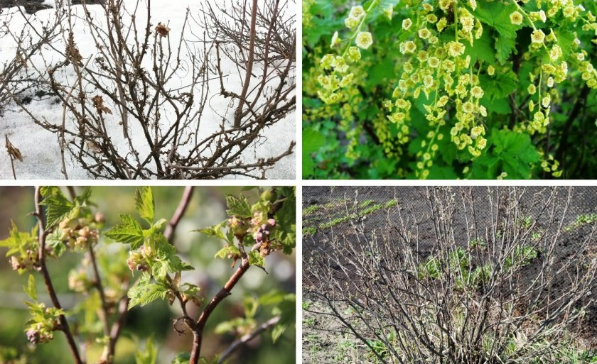 Как защитить смородину от вредителей весной: проверенные средства