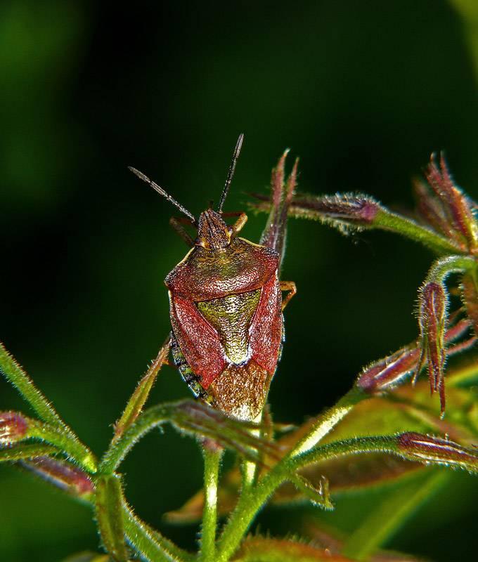 ❶ клопы щитники: фото-обзор и описание насекомых, какие бывают, где живут и как избавиться?
