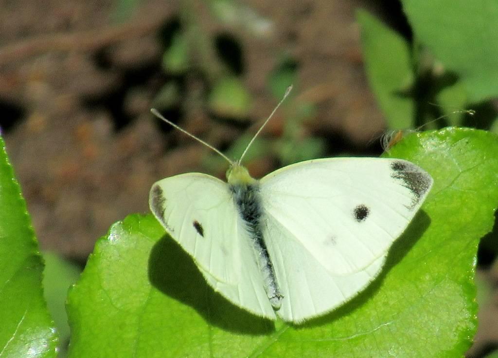 Тизания агриппина – одна из самых крупных бабочек в мире