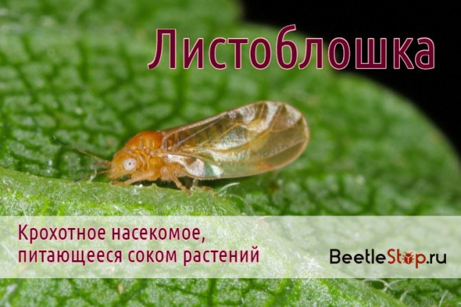 Листоблошки: морковная, грушевая и яблонная медяницы, фото и методы борьбы русский фермер