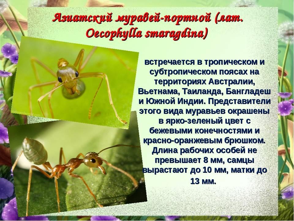 Муравей: описание, виды, среда обитания, организация муравьиной семьи