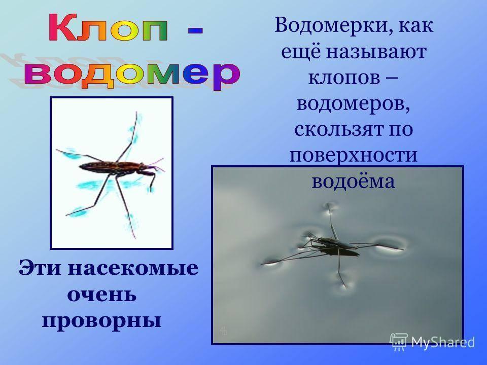 Клоп-водомерка: жизненный цикл, питание, опасность для человека