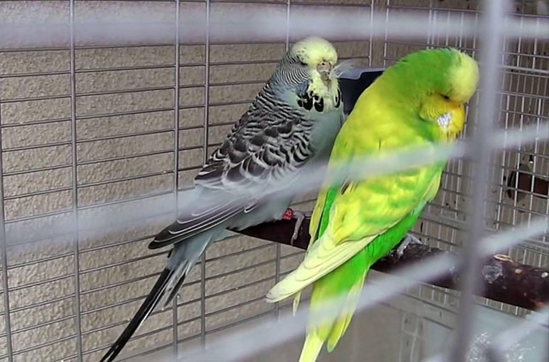 Блохи у попугаев: бывают ли и что делать?