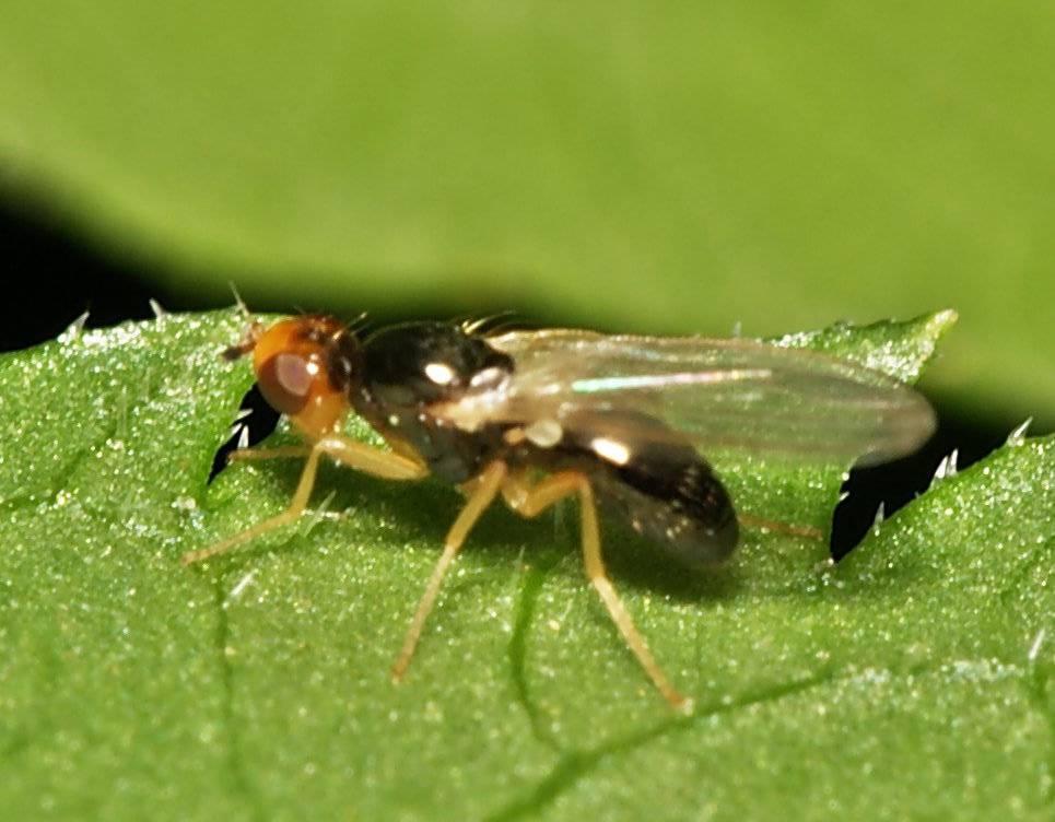 Какие бывают листоблошки? Знакомство с вредителем и способами борьбы с ним
