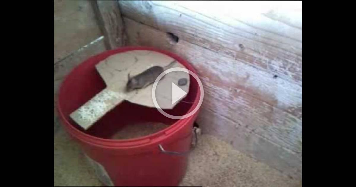 Электронная мышеловка: как сделать крысоловку своими руками, обзор популярных ловушек для мышей