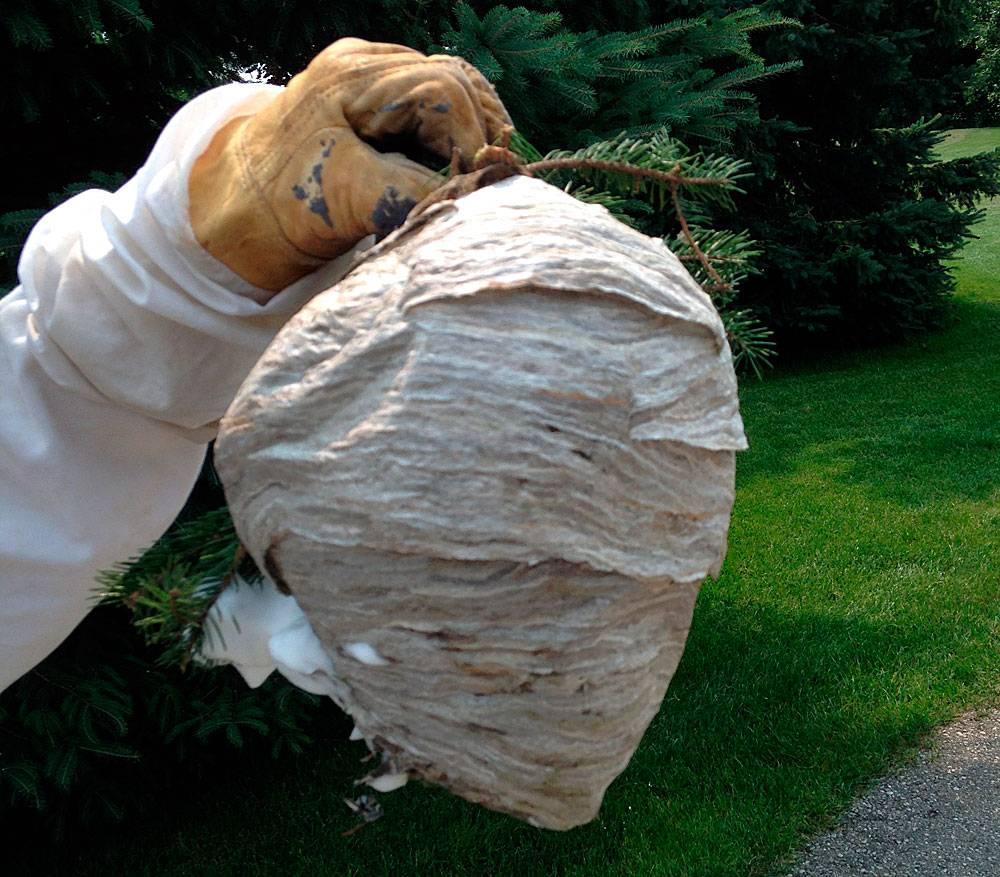 Какой запах не любят осы и шершни: что отпугивает ос и шершней