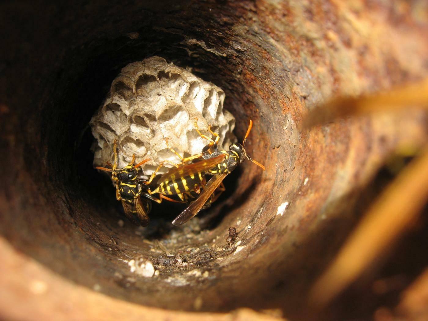 Из чего осы делают свои гнезда. как устроено гнездо осы, и каким образом оно используется в медицине