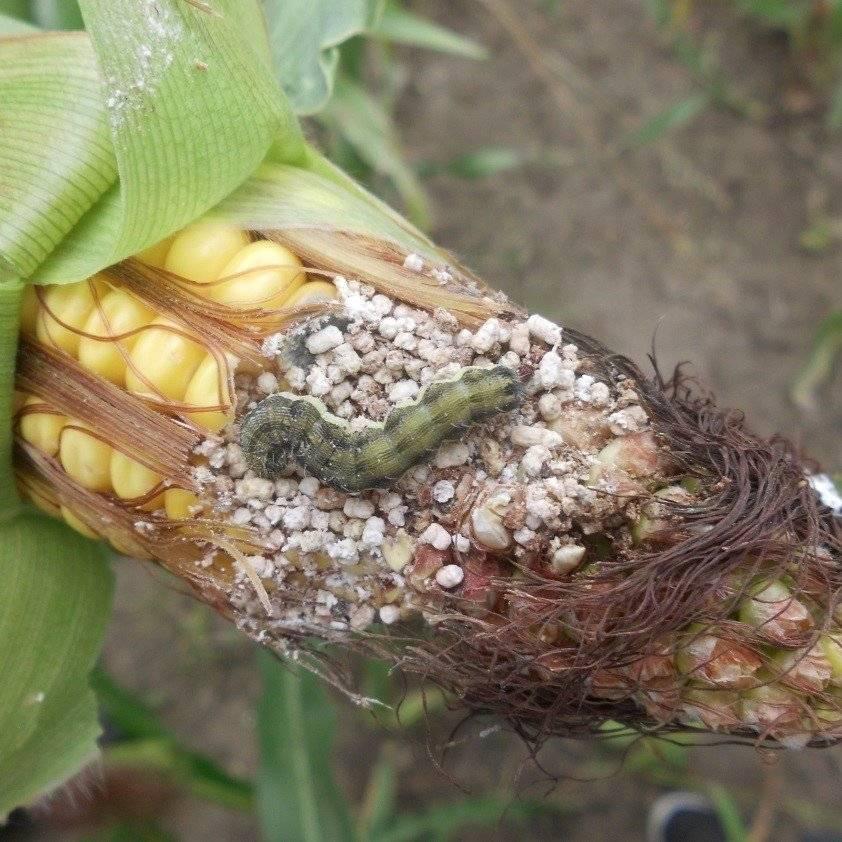 Топ-12 вредителей кукурузы – stiri agricole din moldova   новости с...