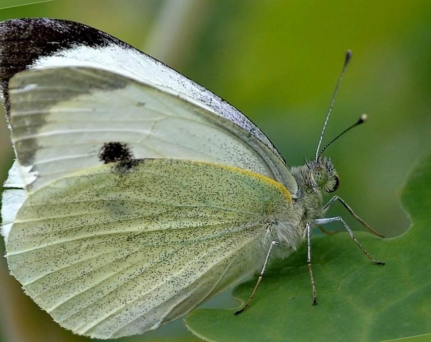 Как бороться с бабочкой капустницей + фото и описание