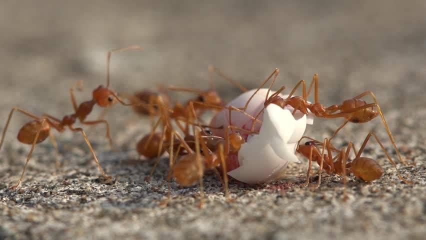 Чем питаются муравьи, едят ли муравьи муравьев