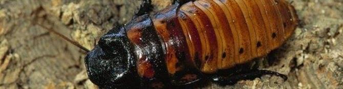 Могут ли домашние тараканы укусить человека