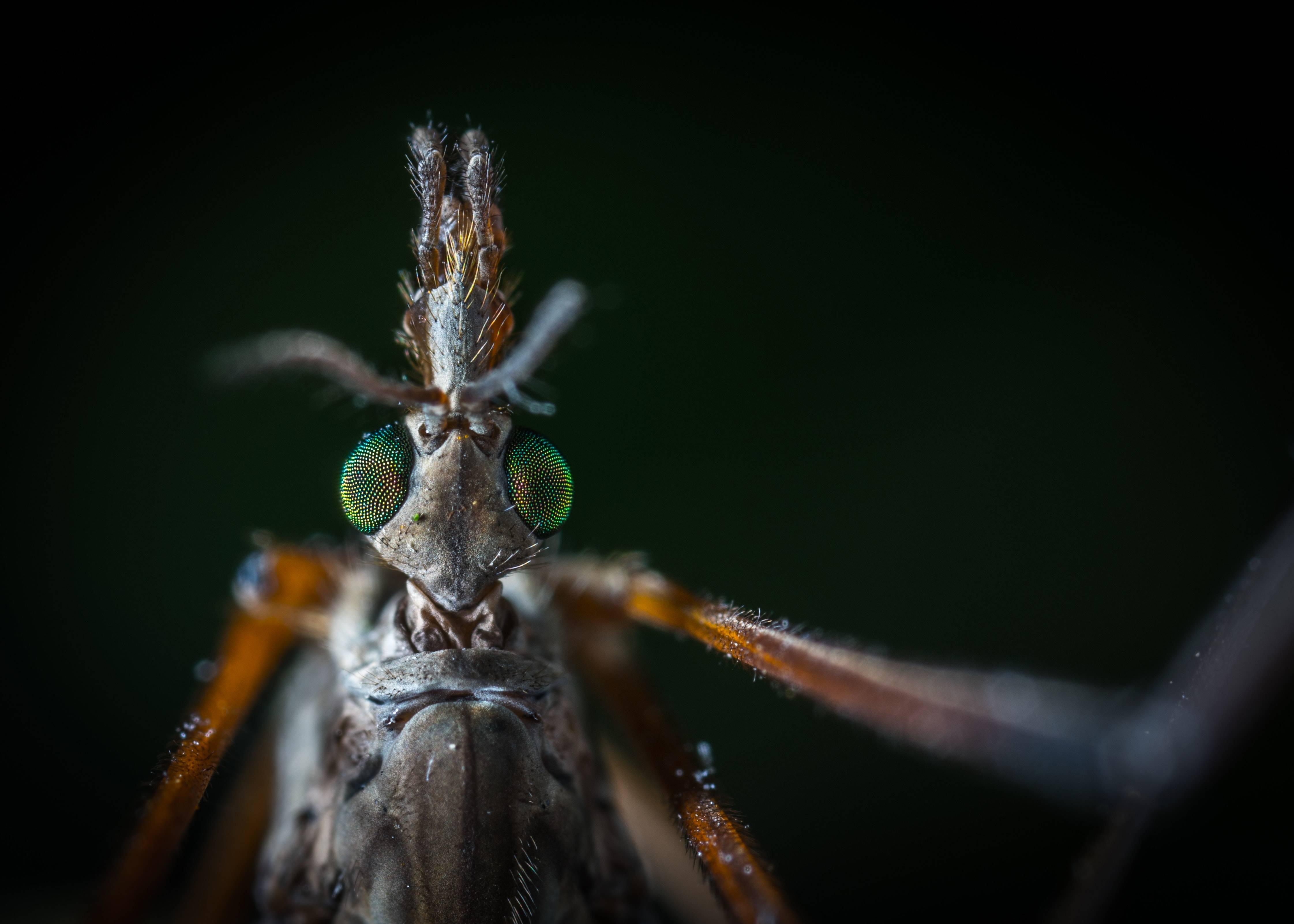 Зеленые комары в квартире - что за насекомые  на кого похожи