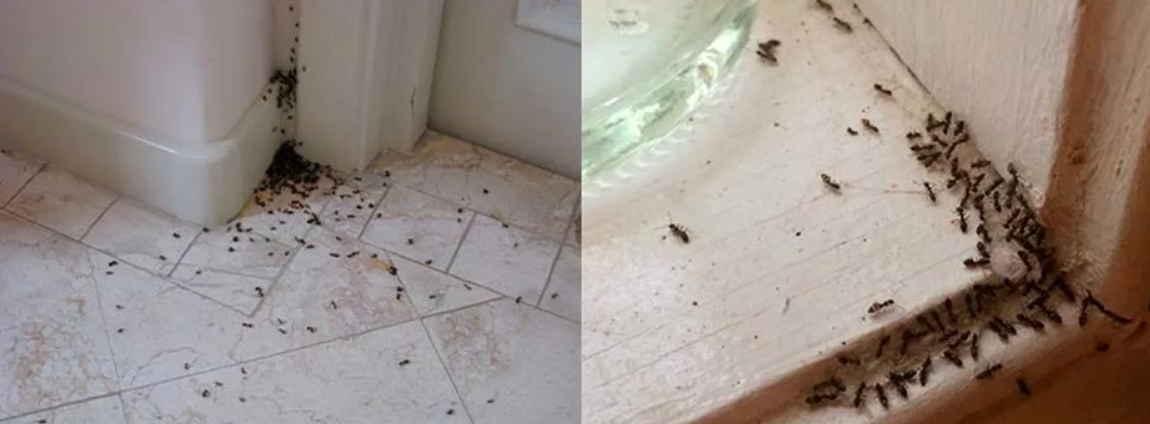 Домашние муравьи в квартире: причины появления, как избавиться, фото русский фермер