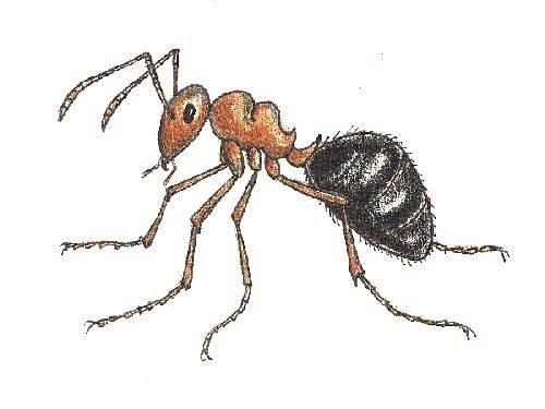 Рыжие лесные муравьи: образ жизни, польза и вред