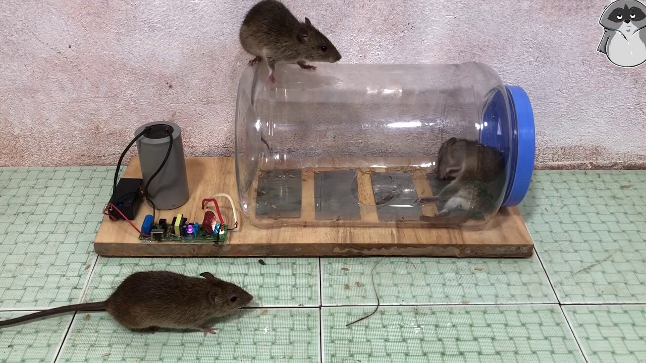Ловушка для крыс своими руками, как правильно сделать?