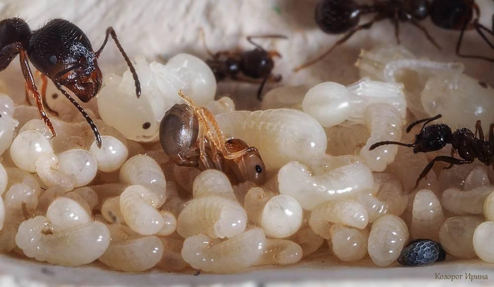 Разнообразие видов муравьев на планете