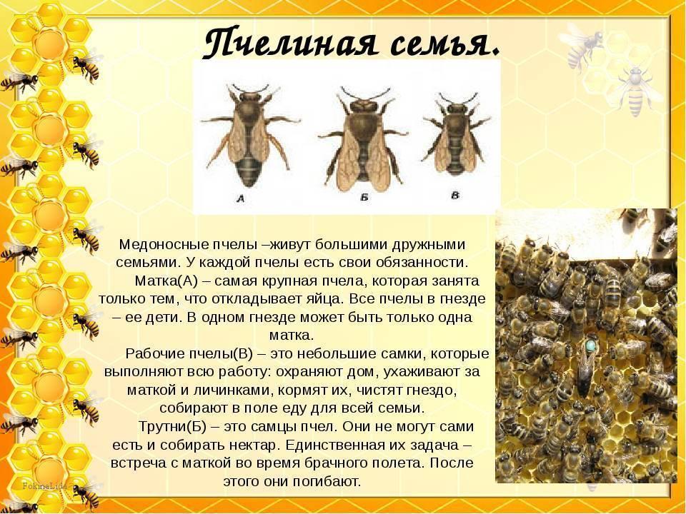 Медоносная пчела: строение