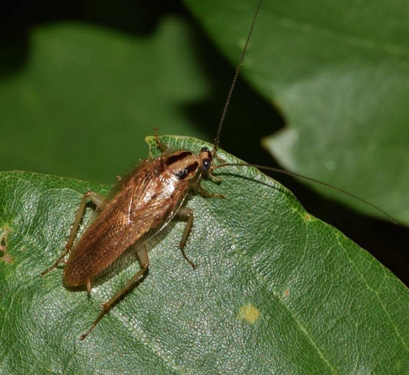 Такие разные виды тараканов: домашние, тропические, лесные и даже летающие. фото и описание всех разновидностей