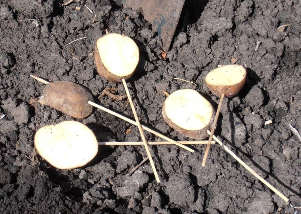 Проволочник – вот напасть! как не дать пропасть картошке – топ советов «зеленой грядки»! — agroxxi