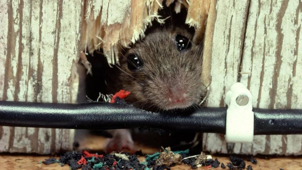 Серая крыса пасюк: фото и описание жизни обычной амбарной вредительницы русский фермер