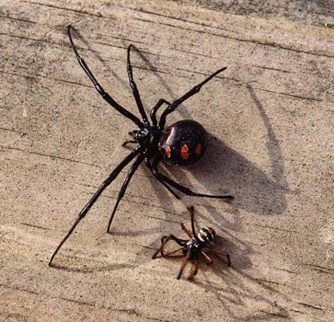 Самые опасные пауки в мире: топ — 7   на всякий случай