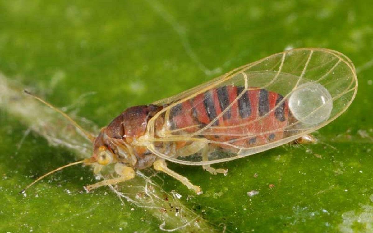Яблоневая медяница (грушевая): меры борьбы, фото