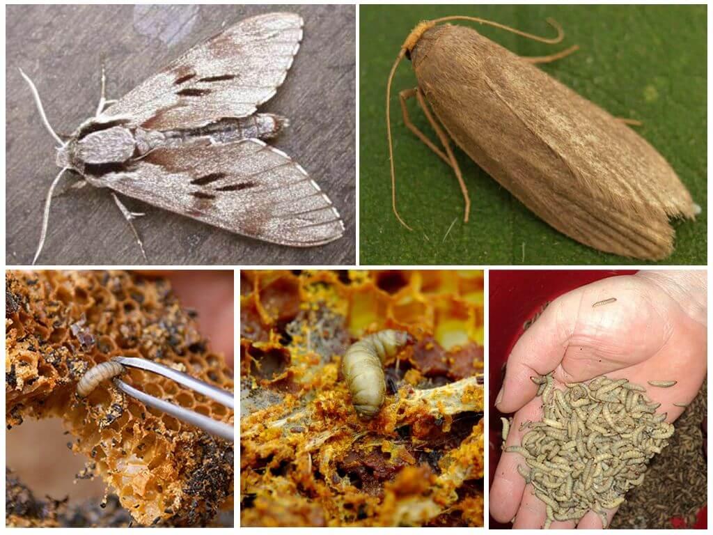 Как выглядит моль - 9 видов насекомого: сколько живёт и как размножается