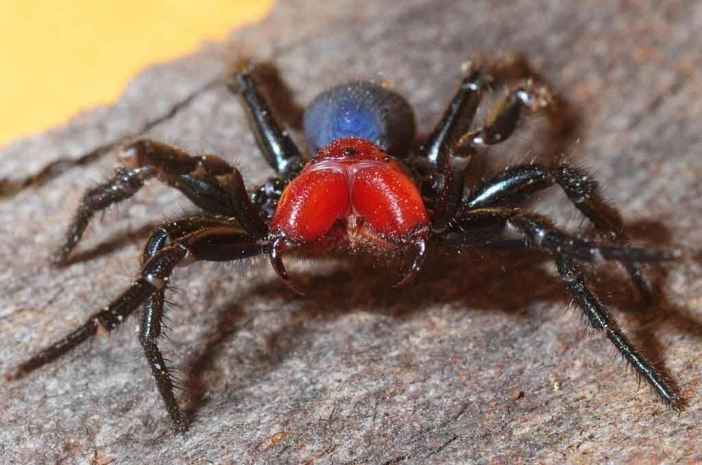 Самые ядовитые пауки в мире. топ-10