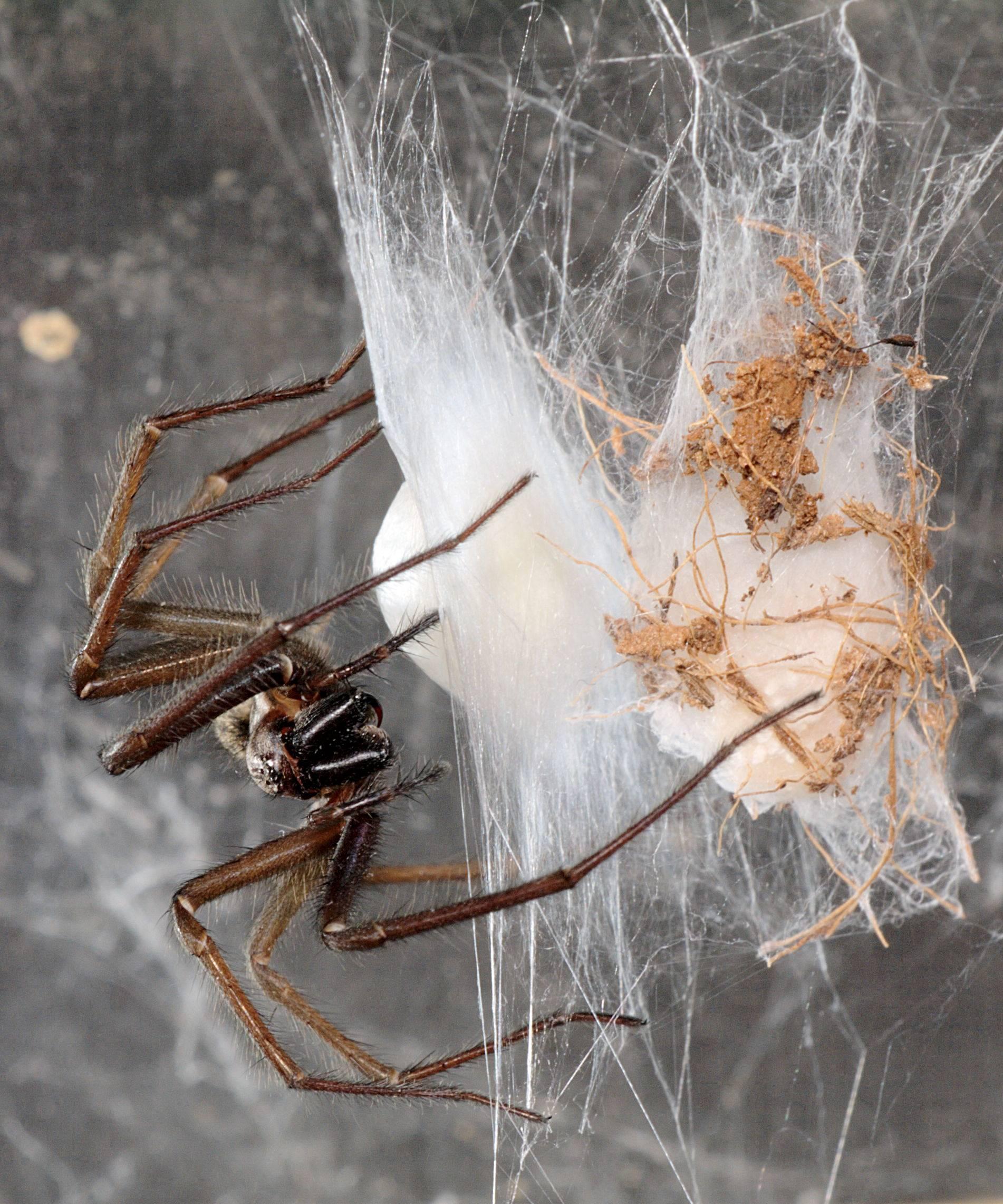 Пауки в доме: что едят, сколько живут, как размножаются