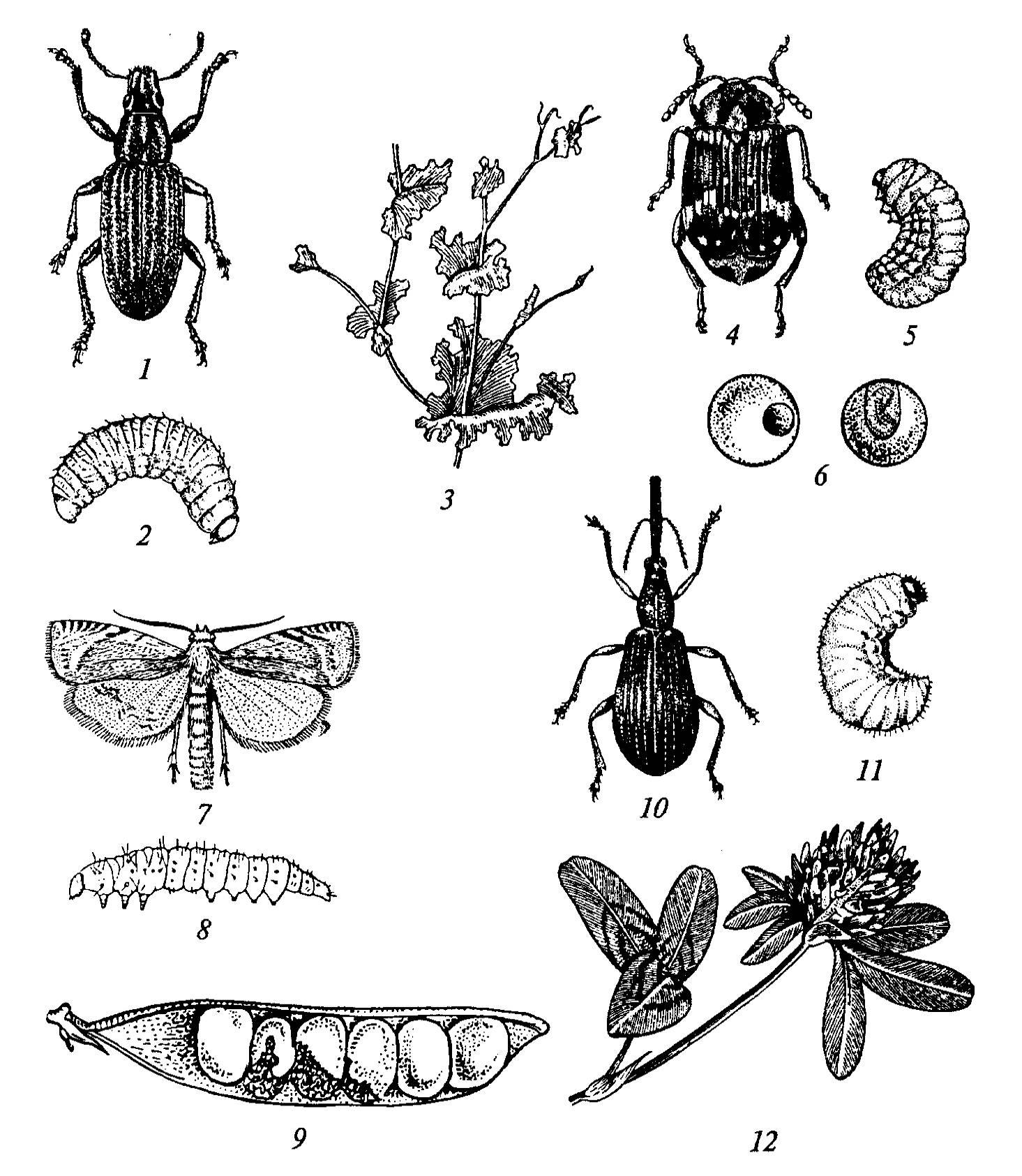 Вредители и болезни гороха и других бобовых культур | cельхозпортал