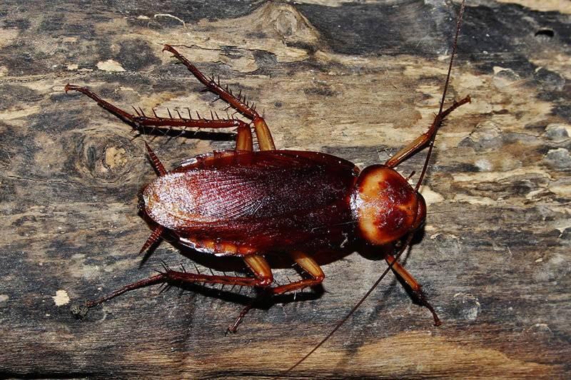 Американский таракан (periplaneta americana): внешний вид и ареал обитания